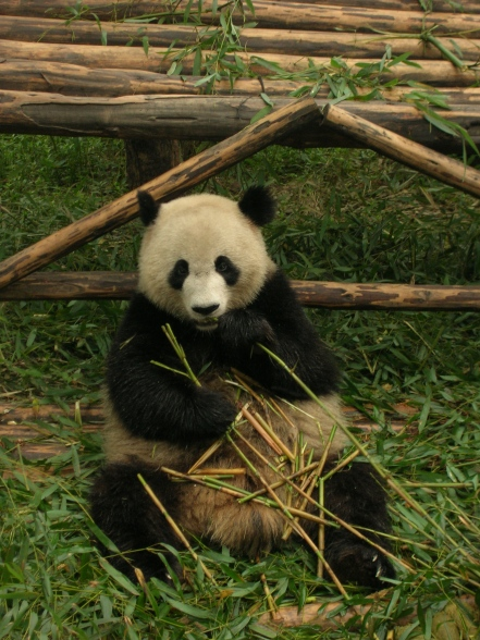 Chendu - Panda Park