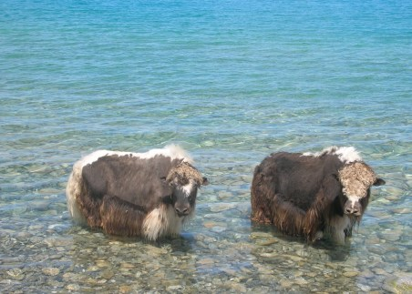 Yaks in the freezing fresh water
