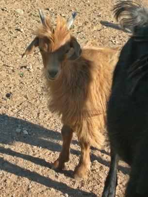 A sweat goat