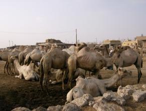Camel market Birqash, Egypt