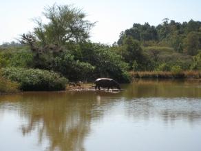 Swaziland - hippo