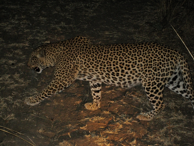 Leopard by night