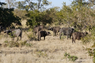 Chobe National Park, Cape buffalo, Botswana