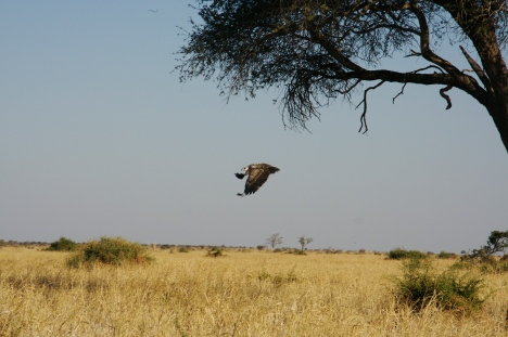 Bird in flight, Botswana