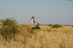 Bird in Flight. Botswana