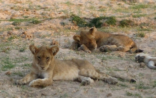 South Luangwa NP, lions
