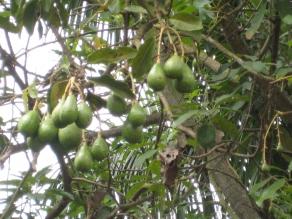 Uganda, avacados