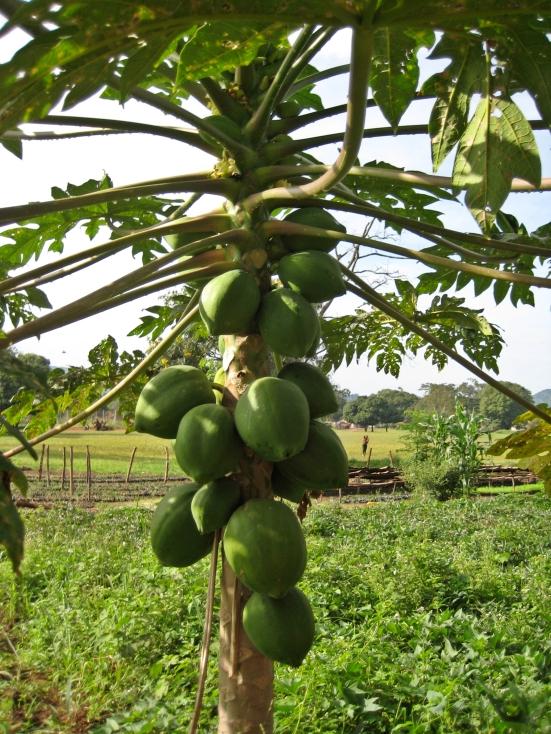 Papayas, Uganda
