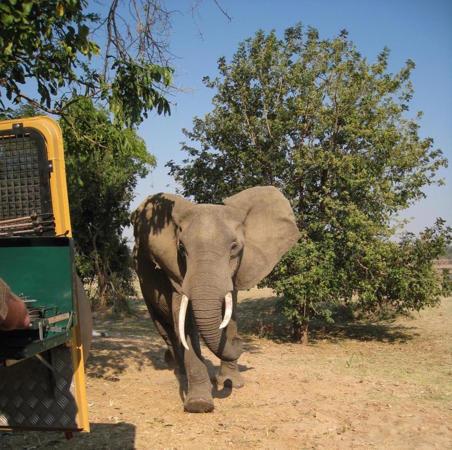 Zambia elephant