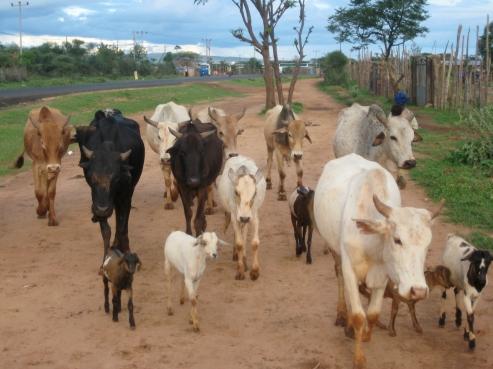 Ethiopia, cows