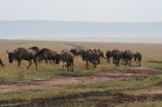 Wondrous Wildebeest migration