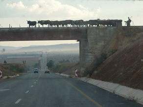 Cows overhead - Angola