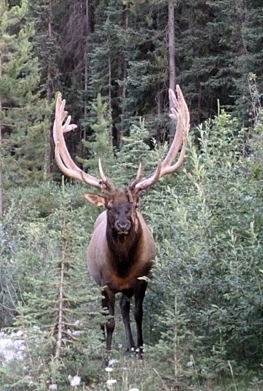 A gorgeous Caribou, Jasper National Park