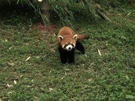 We saw red panda bears in a sanctuary place in Chengdu...