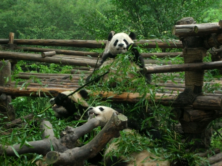 ...or how cute and incredibly lazy panda bears are as they lie on their backs eating bamboo all day.