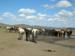 Horses are the pride of Mongolia, and apparently there are a hundred different ways to say horse in Mongolian.