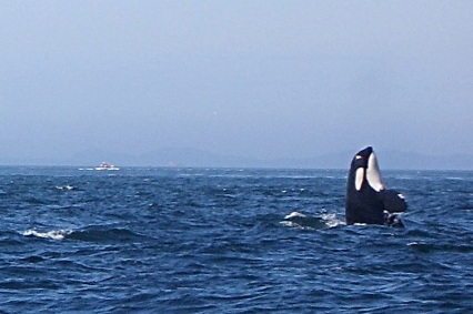 One of many Orca Whales doing a spy hop. Just outside Victoria BC