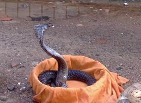 Cobra in Kathmando, Nepal
