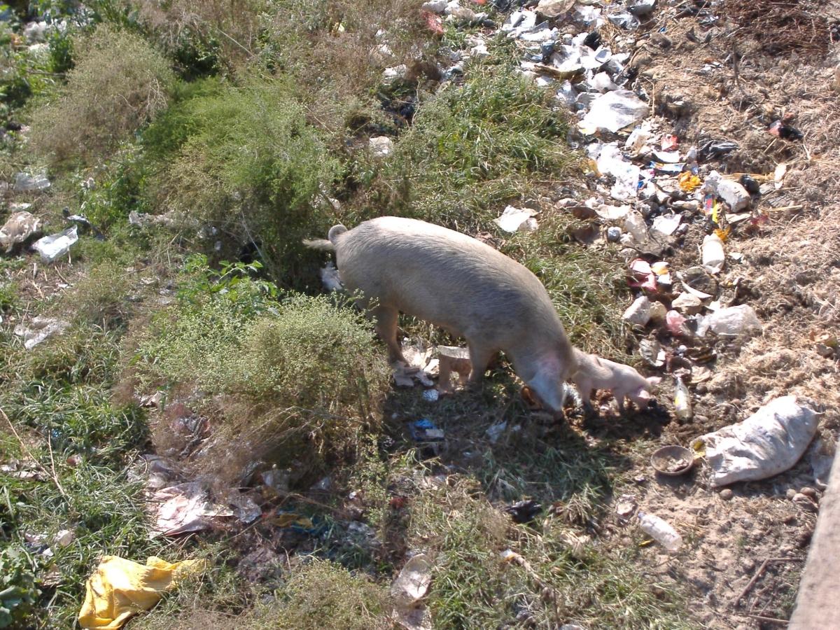 pigs in Kathmandu, Nepal. Backpacks and Bra Straps