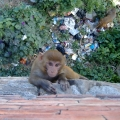 Kathmando, Nepal. Monkey in Nepal. Backpacks and Bra Straps