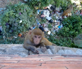 Kathmando, Nepal. Monkey in Nepal. Backpacks and Bra Straps