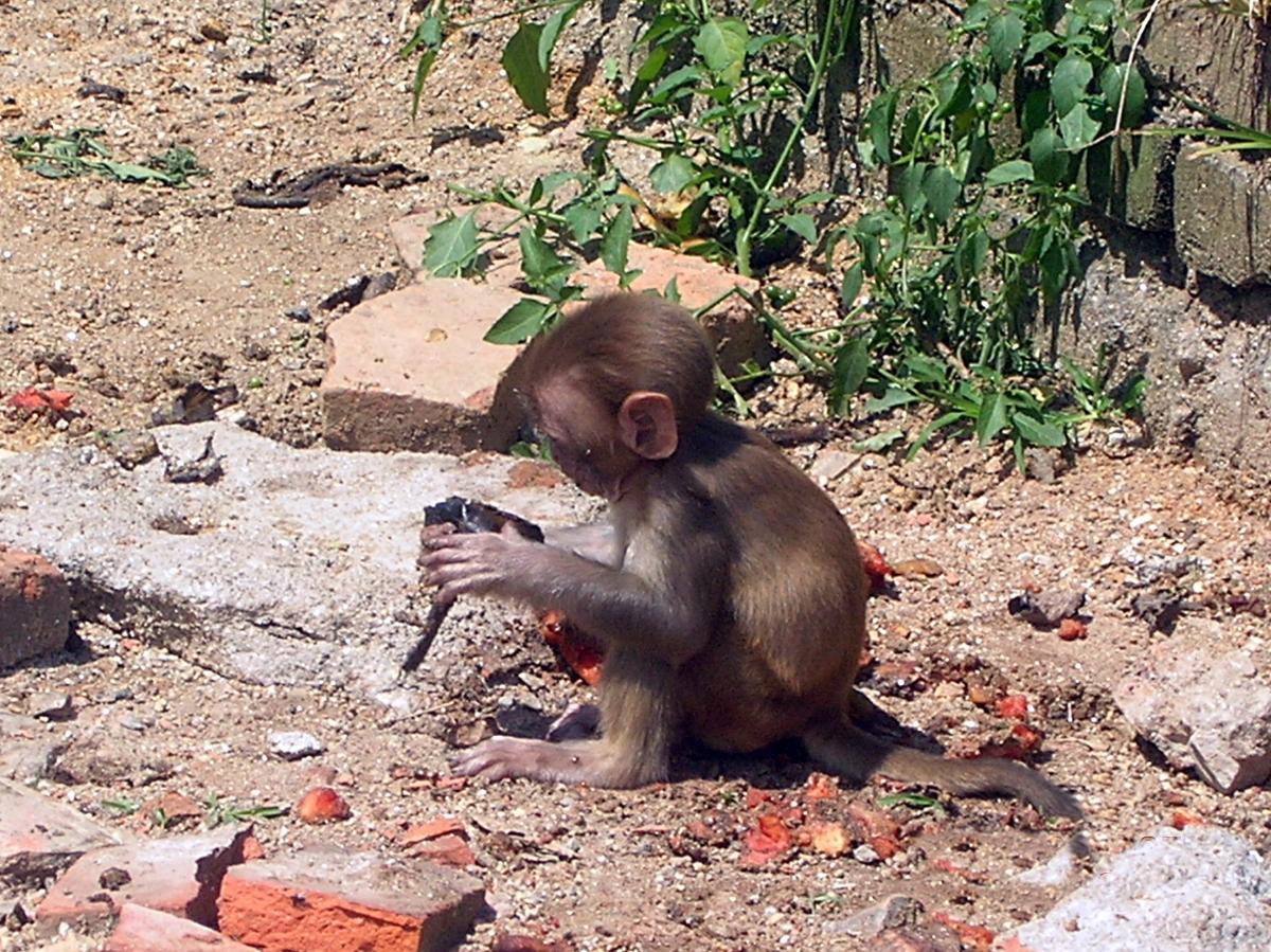 Kathmandu, Nepal.Little monkey Backpacks and Bra Straps