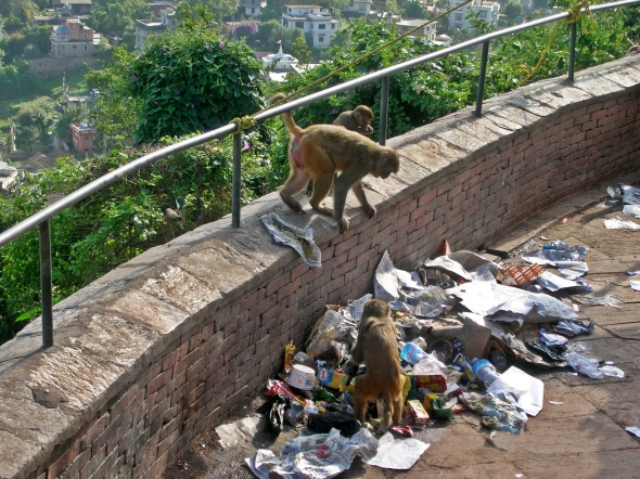 Monkeys in Kathmandu, Nepal. Backpacks and Bra Straps