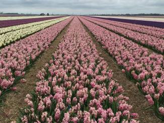 Tulips of Alkmaar. Netherlands