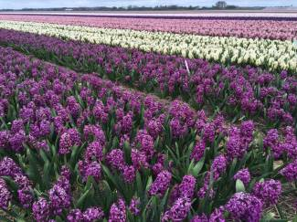 hyacinths of Alkmaar. Netherlands