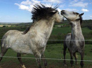 Villesiscle, France, - horses stalions