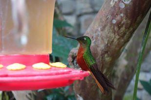 hummingbird, Inkaterra Machu Picchu Puerblo Hotel, Peru