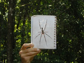 giant spider in Kakadu National Park