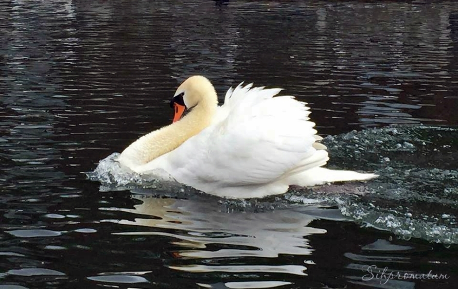 Swan from Brugge