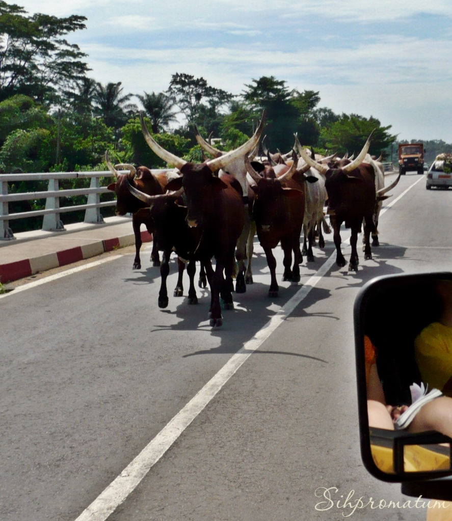 Yaounde cattle