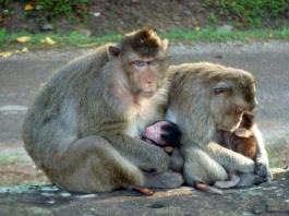 Monkeys of Ankor