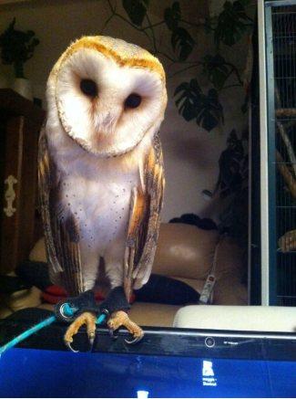 Echo the barn owl.