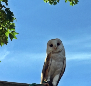 Echo the barn owl. Birthday photo