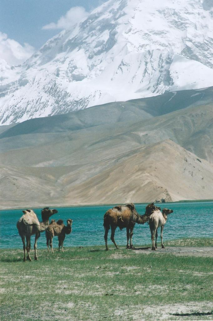 Xinjiang2: Some Bactrian camels on the shores of Lake Karakul, between the mighty Pamir mountain giants Kongur and Muztaghata, somewhere on the Karakoram Highway. In Xinjiang, China (2004)