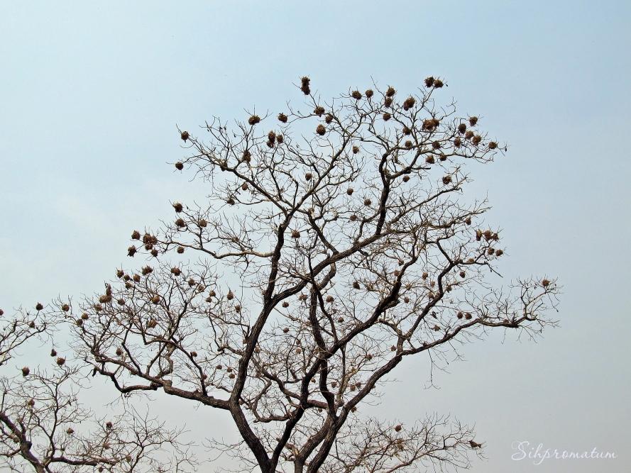 Weaver bird nests.. CAR
