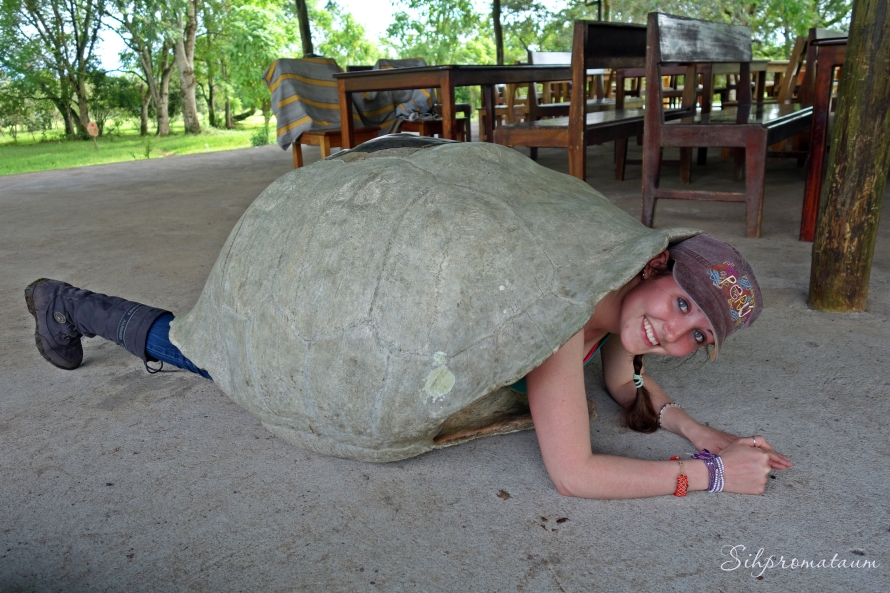 Galápagos Island tortoise shell
