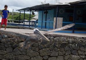 Galápagos Island pelican