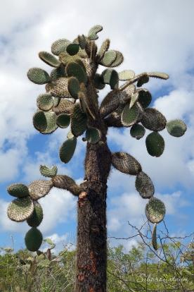 Galápagos Island cactus