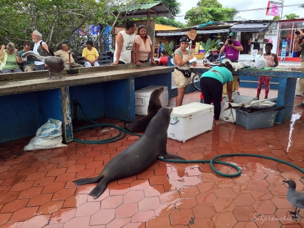 Galápagos Island seal