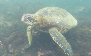Galápagos Island sea turtle
