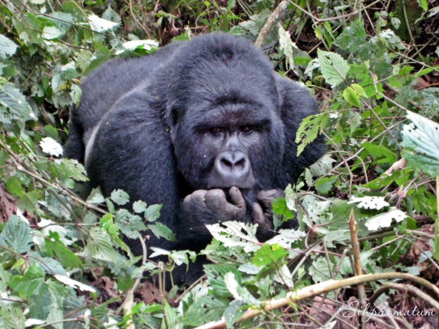 1-gorilla-trekking-in-rwanda