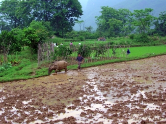 water buffalo and rice field