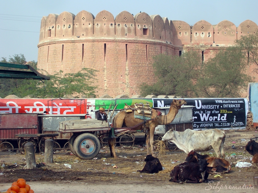 Bikaner with its many camel wagons.
