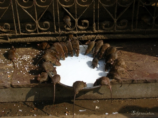 Rat Temple in India